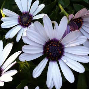 African Daisies, photo by Mary Lester